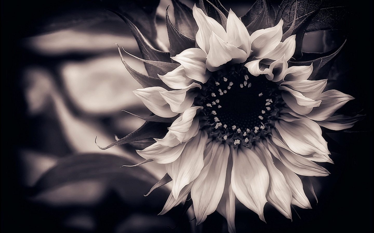 Flower On Black And White Flowers Background Hq Free Download