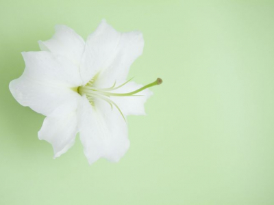 PowerPoint Background Designs  Nice Flower Lily Themes Backgrounds