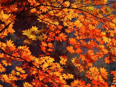 Autumn tints Beautiful Fall leaves Widescreen wallpapers #8273