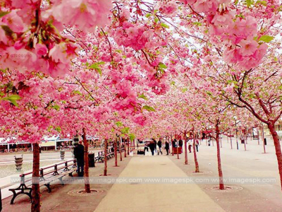 HD Download Cherry Blossom Photo