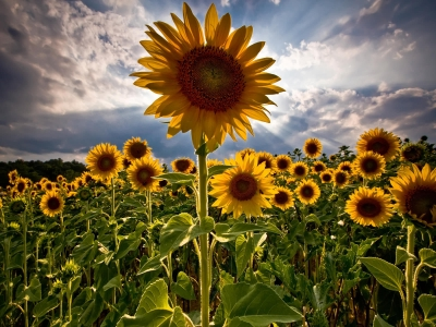 Army Sunflowers Wallpaper