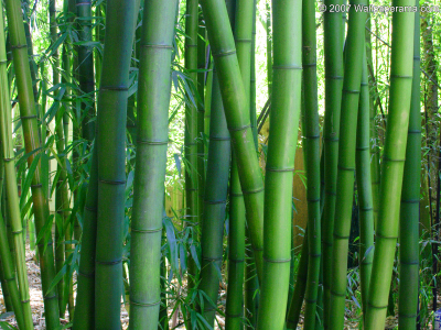 Bamboo Powerpoint Background