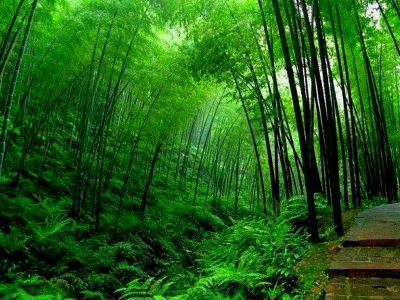 Bamboo Tree Wallpaper Hd
