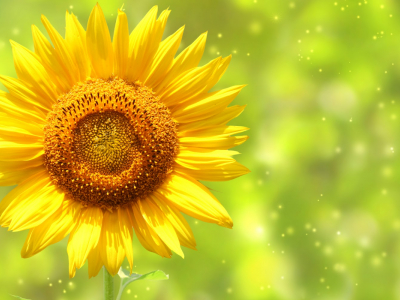 Beautiful Sunflowers Photography Hd Nature Wallpapers
