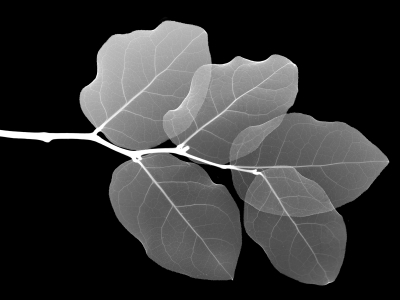 Black And White Background Leaf