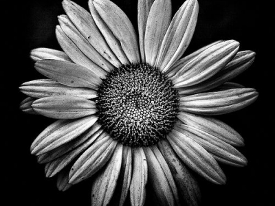 Black And White Daisy Photography Black And White Flower