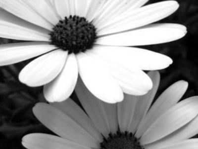 Black And White Flowers Daisy