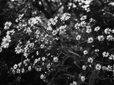 Black Flowers Spring White Flowers Image Wallpapers