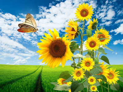 Butterfly And Sunflower Wallpaper