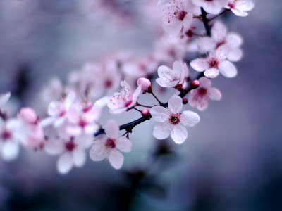 free background Best Cherry Blossom #2682