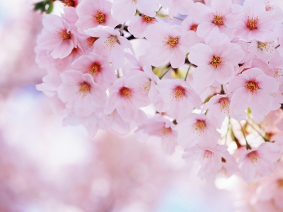 Cherry Blossom Desktop PC Background #2683
