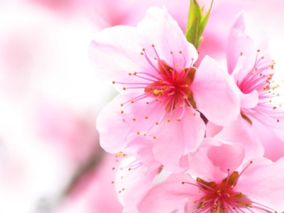 Cherry Blossom Download Free