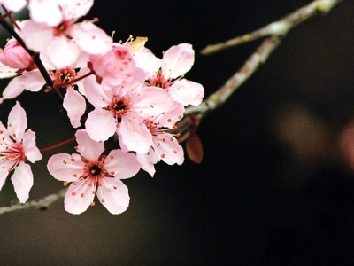 Best free background Cherry Blossom #2687
