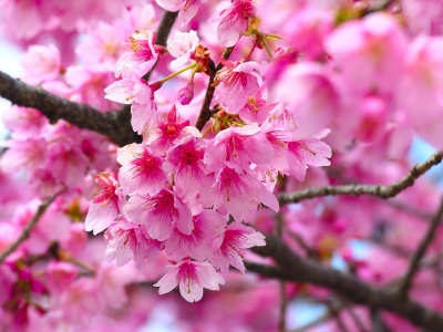 Ppt Cherry Blossom Template For
