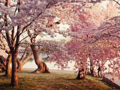 Background Cherry Blossom #2699