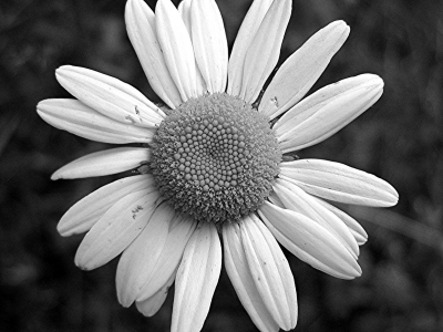 Daisy Flower Black And White Wallpaper