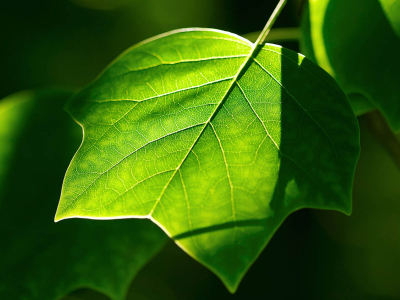 Dark Green Leaf Wallpaper