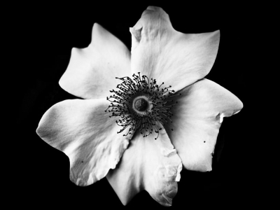 Flower Black And White Free Download Clip Art  Free