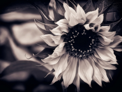 Flower On Black And White Flowers Background