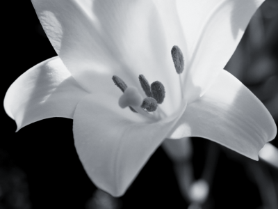 Flower Photography Backgrounds Black And White