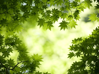 Green Maple Leaves Wallpaper Hd