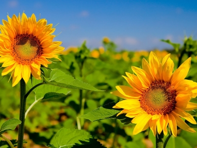 hd sunflower wallpaper pictures #15111