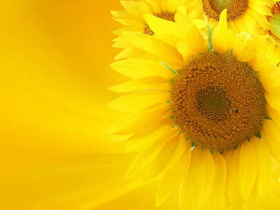 images sunflower wallpaper #15089