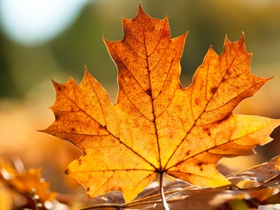 Latest Autumn Maple Leaves Hd Wallpaper
