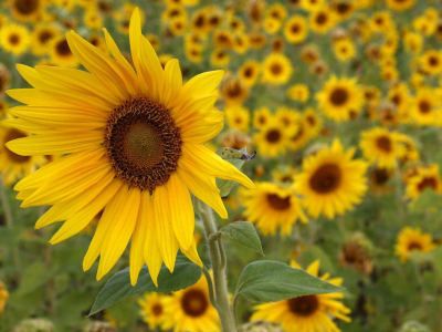 light sunflowers desktop wallpaper #15086