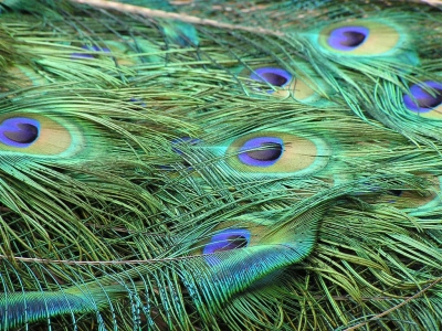 peacock feather background pictures #15617