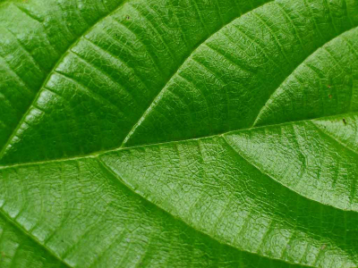 Real Green Leaf Wallpaper