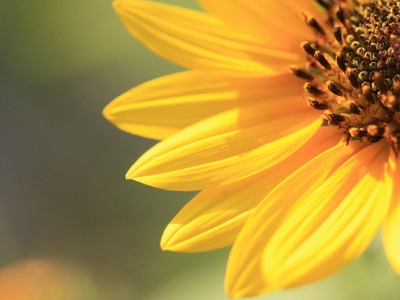 Simple Sunflower Background