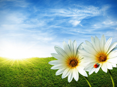 Spring Daisy Wallpapers