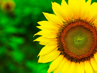 Sunflower Full Hd Wallpaper And Background
