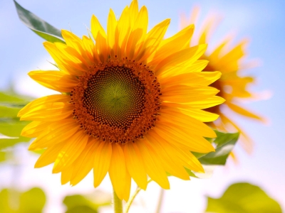 sunflowers desktop wallpaper #15091