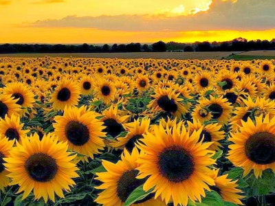 Sunset View From Sunflower Field Background