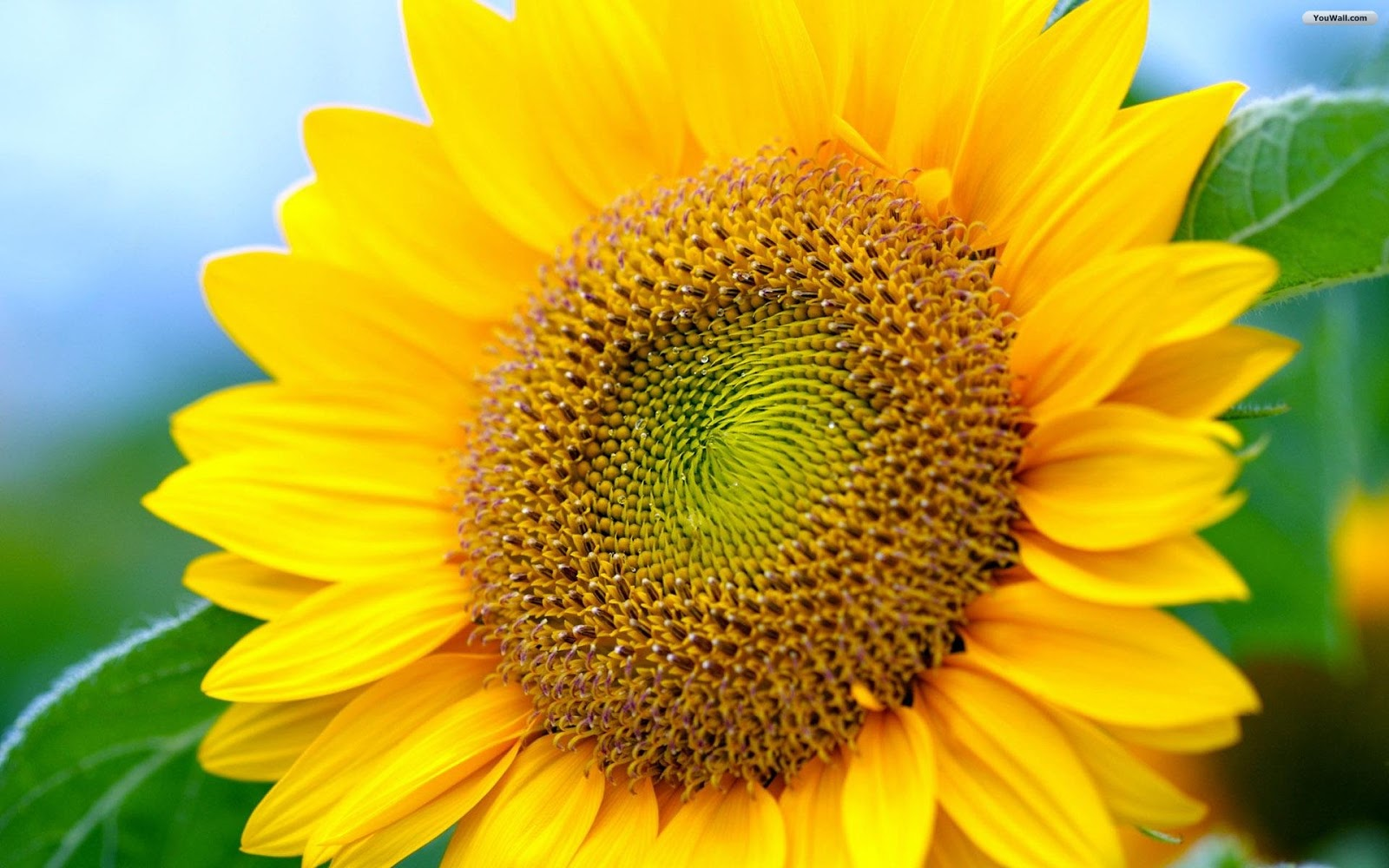 sunflower wallpaper desktop pictures