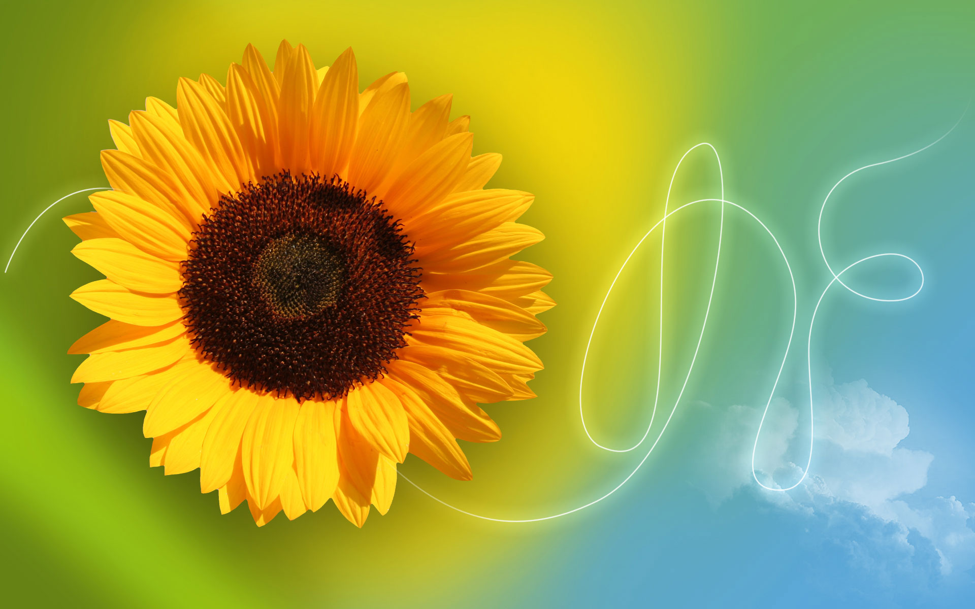 sunflower wallpaper images