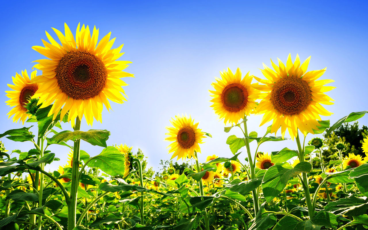 sunflowers desktop wallpaper
