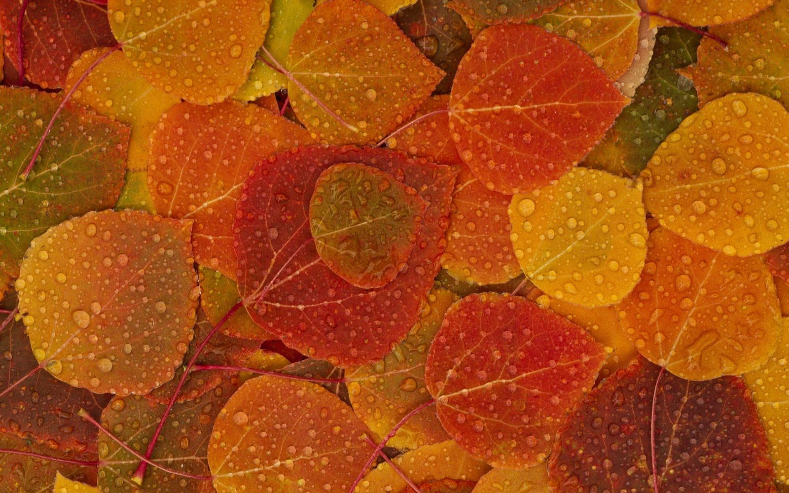 water drop and autumn leaves wallpaper
